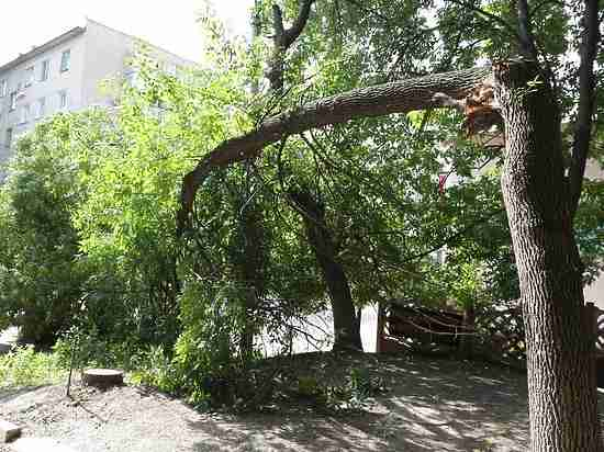 В Тамбове прямо на тротуар упало огромное дерево